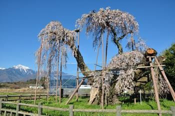 大糸桜と甲斐駒.jpg