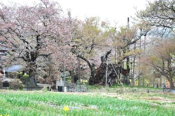 山高の神代桜.jpg