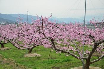 桃畑.jpg