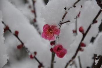 梅に雪.jpg